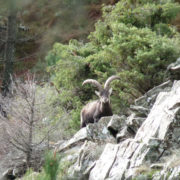 Gredos ibex hunting in Spain